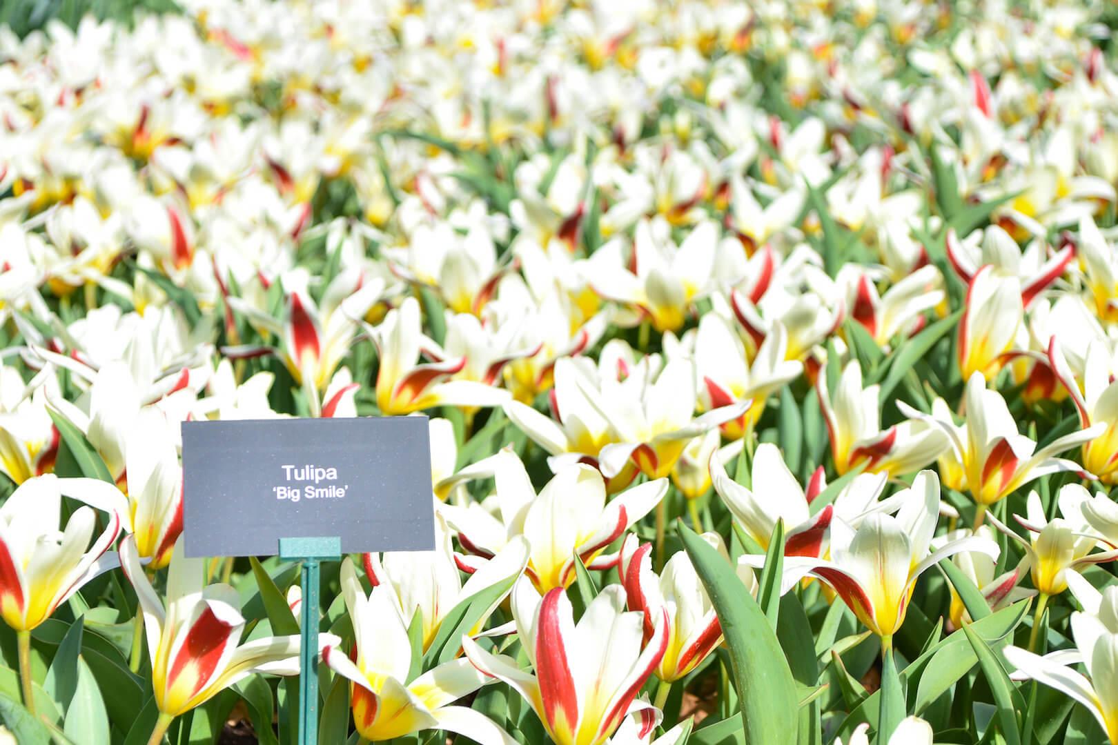 Tulipa 'Big Smile'
