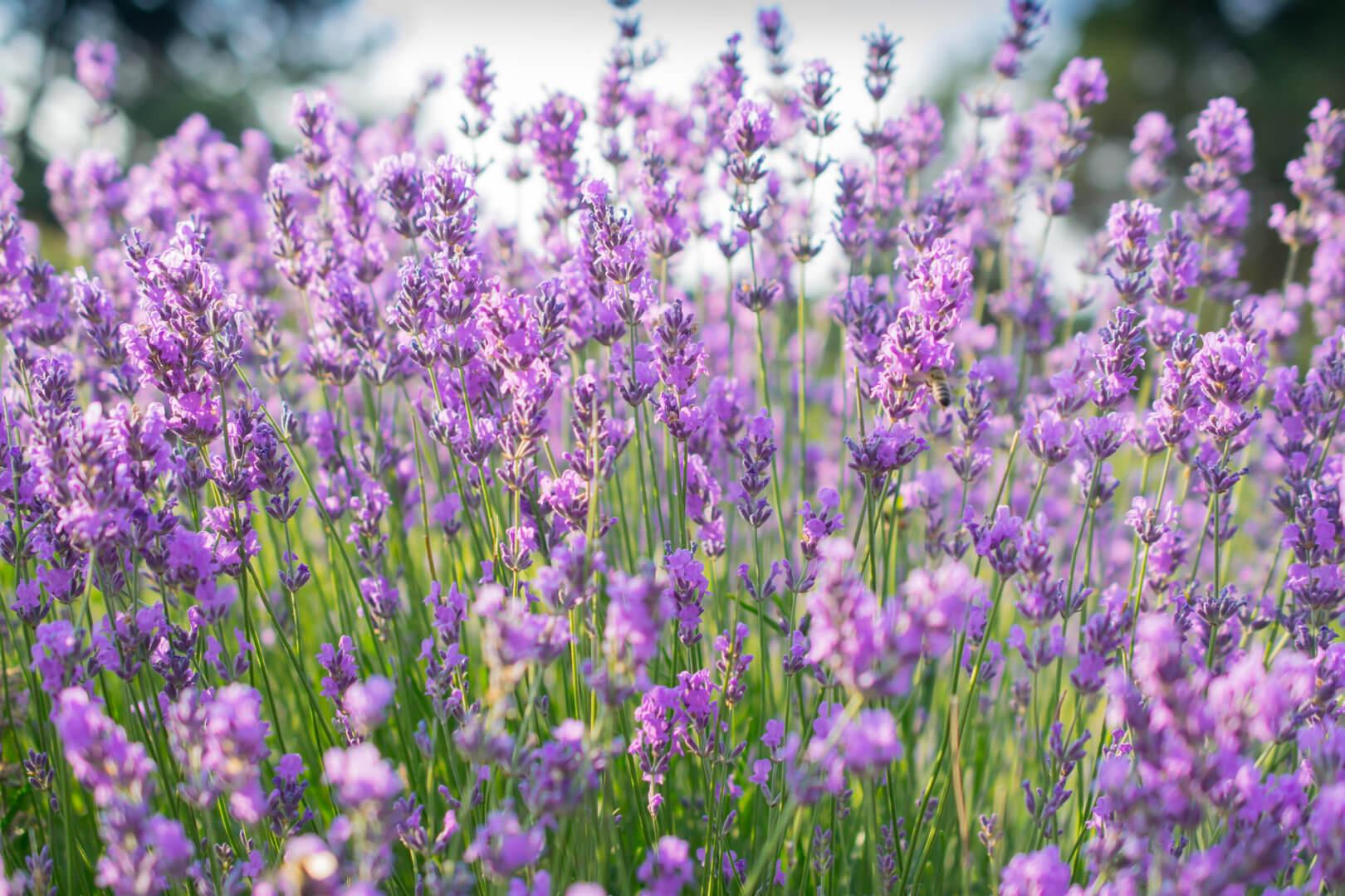 onderhoudsvrije zomerbloeiers lavendel